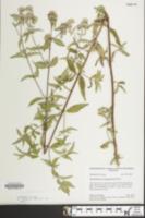 Image of Pycnanthemum clinopodioides