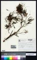 Mimosa scabrella image