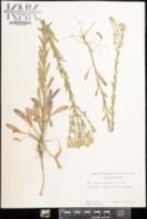 Lepidium campestre image