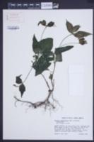 Image of Spigelia humboldtiana