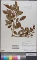 Schinus terebinthifolius image