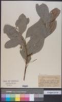 Image of Acronychia pedunculata