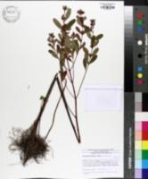 Image of Hypericum walteri