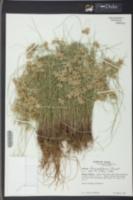 Cyperus lanceolatus image
