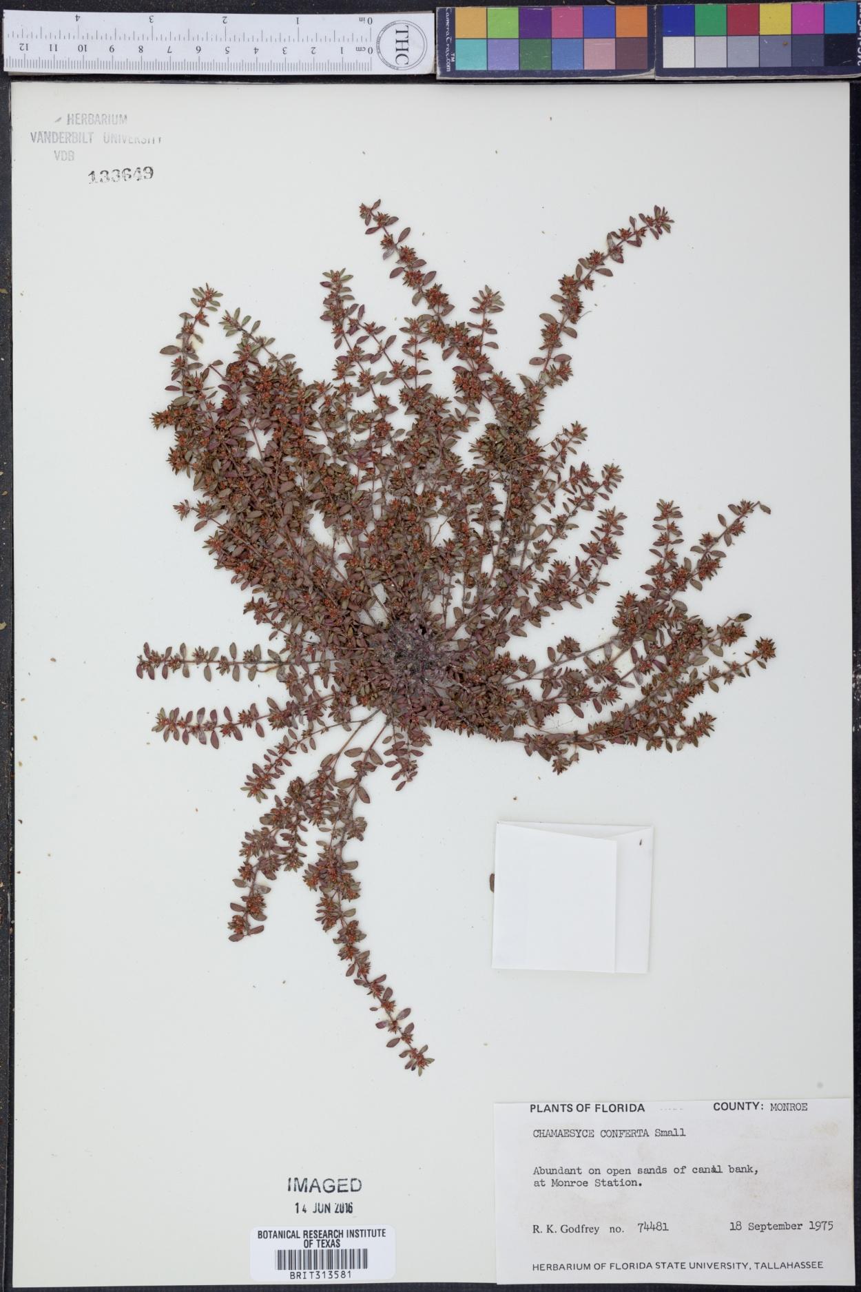 Chamaesyce conferta image