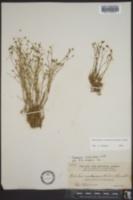 Arenaria caroliniana image