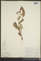 Image of Astragalus cottonii