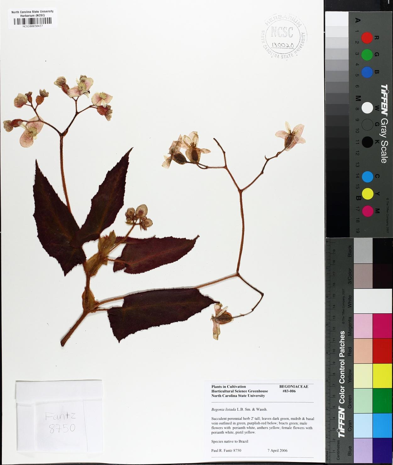 Begonia listada image