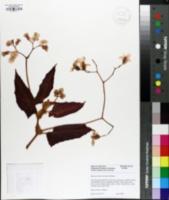 Image of Begonia listada
