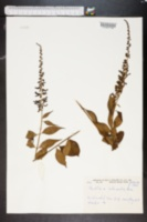 Buddleja parviflora image