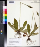Image of Elytraria carolinensis