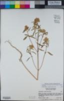 Monardella breweri subsp. lanceolata image