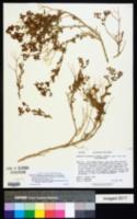 Dedeckera eurekensis image