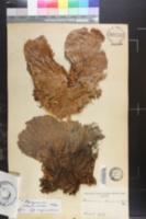 Platycerium elephantotis image