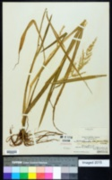 Image of Echinochloa crus-pavonis