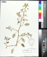 Image of Amaranthus greggii