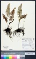 Pecluma dispersa image