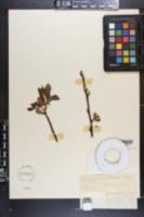 Salix astatulana image