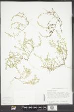 Herniaria hirsuta image