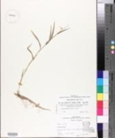 Image of Muhlenbergia bushii