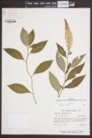 Image of Lysimachia clethroides