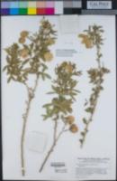 Peritoma arborea var. globosa image