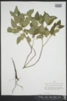 Croton lindheimerianus image