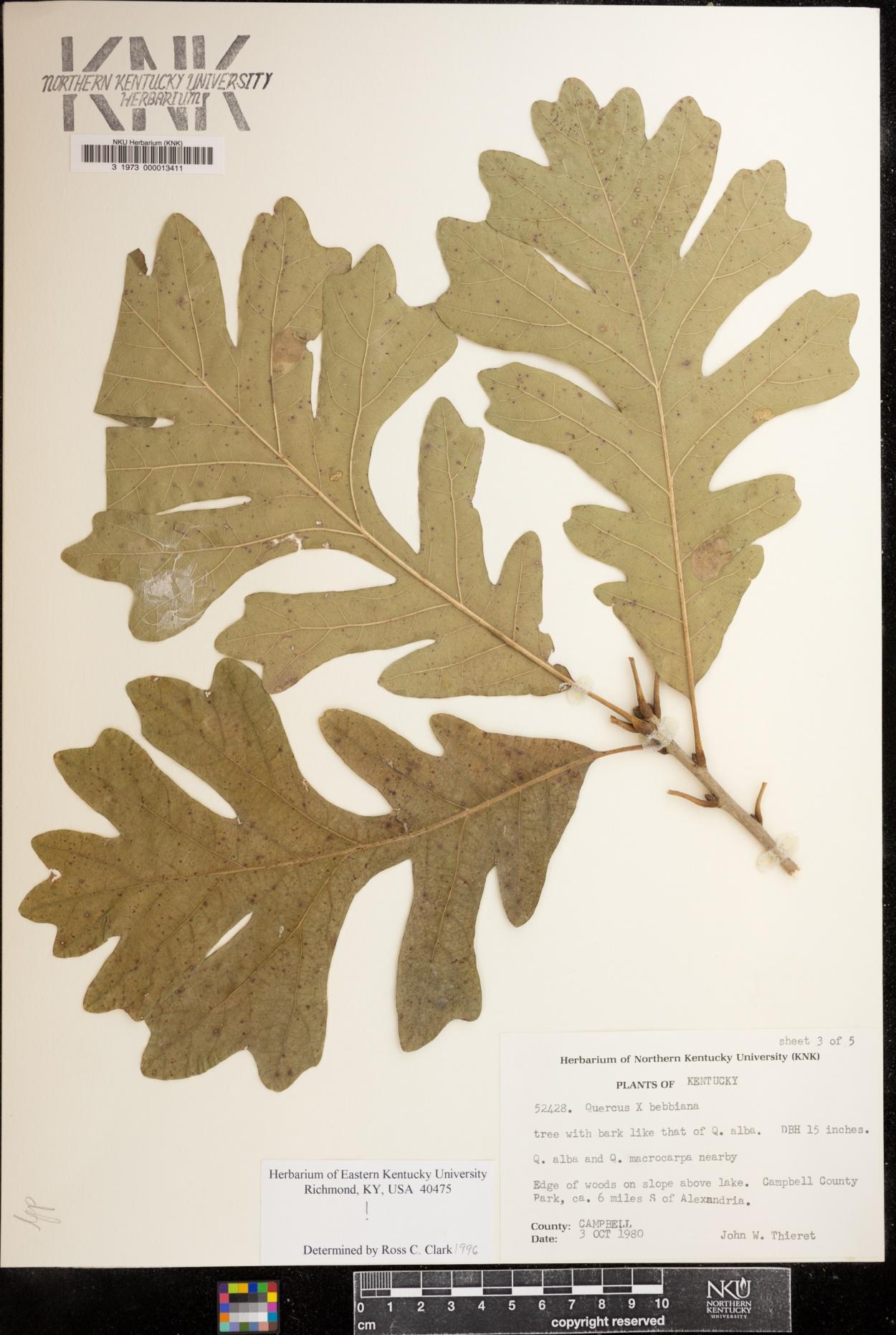 Quercus bebbiana image