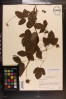 Clematis pitcheri image