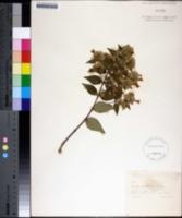 Image of Abelia grandifolia