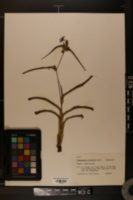 Image of Tradescantia roseolens
