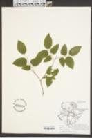 Celtis occidentalis image