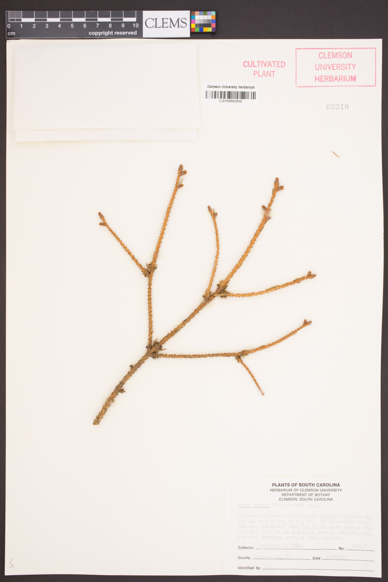 Picea alcoquiana image