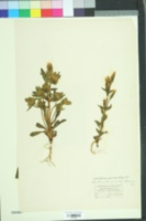 Image of Gentianella campestris