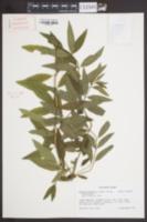 Aloysia triphylla image