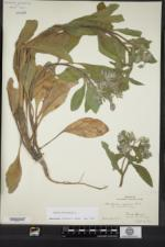 Borago officinalis image