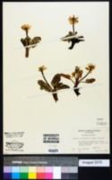 Image of Caltha rotundifolia