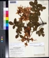 Rhododendron calendulaceum image