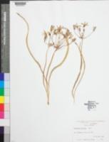 Image of Brodiaea ixioides