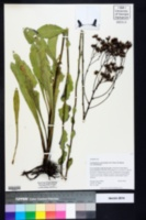 Carphephorus odoratissimus image
