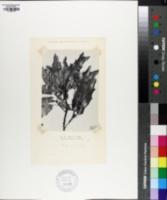Quercus graciliformis image