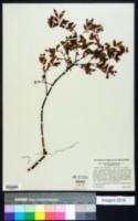 Vaccinium angustifolium image