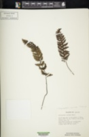 Myriopteris covillei image
