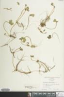 Image of Hydrocotyle ranunculoides