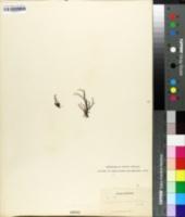 Xiphopteris serrulata image