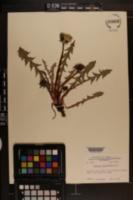 Image of Taraxacum decorifolium