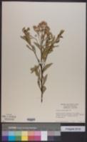 Image of Pluchea dioscoridis