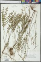 Calamintha dentata image