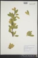 Image of Bumelia tenax