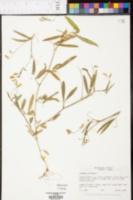 Image of Lathyrus hirtus